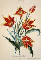 Orange Tulip, from 'Opera Botanica'