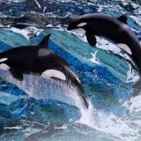 Wild Orca Whales of Florida by I.M. Spadecaller
