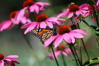 Monarch Butterfly with Purple Coneflowers