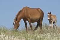The Wild Horses of Corolla