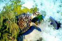Turtle Leaving Soft Coral Hideout
