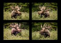 Bull Moose Collage