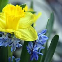 Daffodil Blues by Karen Adams