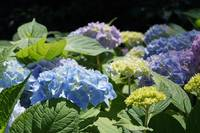 Hydrangeas Blue Lavender Green Garden art prints