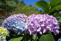 Hydrangeas Blue Lavender Flowers art prints Floral