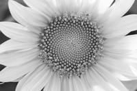 Sunflower Center B&W