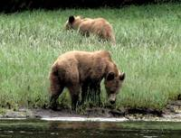 Grazing Grizzly Bears