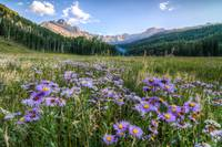 Asters in Mountain Shadows
