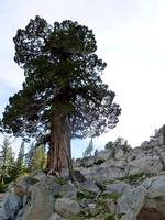 Rugged Tahoe Tree