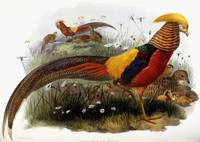 Thaumalea Picta (Golden Pheasants), 1870-1872 (han