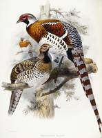 Elliot's Pheasant, 1865 (hand-coloured lithograph)