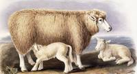 The Cotswold Breed, Ewe, 8 years old, 1840-1842 (h