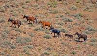 WIld horses on the range.