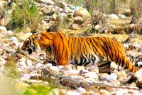 Tiger Leaving Dry River