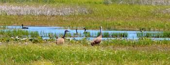 Ssndhill Cranes, Canada Geese and Ducks in the Tah