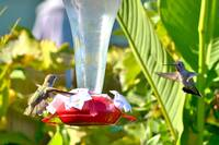 HUMMINGBIRD FACE OFF