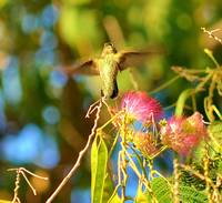 Hummingbird hovers over Mimosa tree.