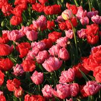 Ruffly Pink and Red Tulips