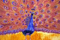 peacock poetry, pink art