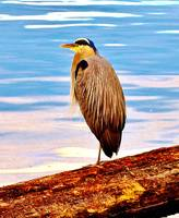 BLUE HERON ON A LOG