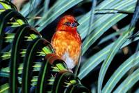 Red-headed Fody