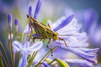 Grasshopper On Purple Flowers