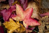 Red Fall Leaves With Dew