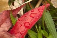 Red Leaf with Morning Dew