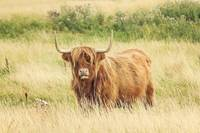 scottish red highland cow