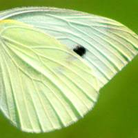 Cabbage White Butterfly Wing