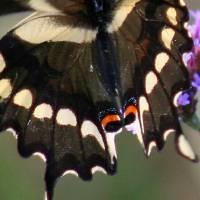 Giant Swallowtail Butterfly Wing by Karen Adams
