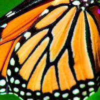 Monarch Butterfly Wing by Karen Adams