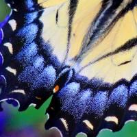 Eastern Tiger Swallowtail Wing by Karen Adams