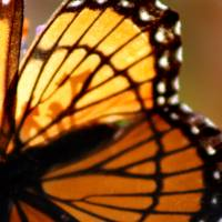 Viceroy Butterfly Wing by Karen Adams