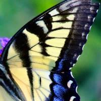 Eastern Tiger Swallowtail Butterfly Wing by Karen Adams