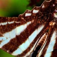 Zebra Swallowtail Butterfly Wing by Karen Adams