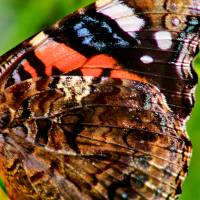 Red Admiral Butterfly Wing by Karen Adams