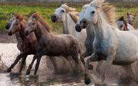 Camargue Mares and Fowls