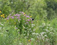 Red-spotted Purple Butterfly in prairie heaven