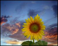 sunflower-with-sky-pierre-dumas