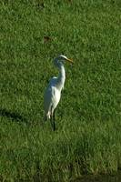 Great Egret in Grass