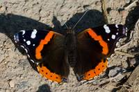 Red Admiral 015