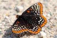Baltimore Checkerspot 019