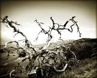 Catalina Spook Tree BW