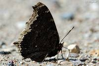 Mourning Cloak 175