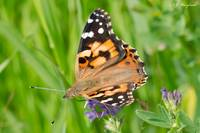 Painted Lady 076