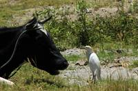 Cattle Egret and Holstein Cow