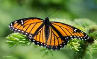 Viceroy Butterfly 021