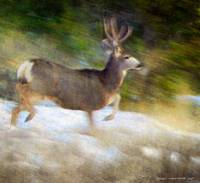 buck mule deer blur in snow