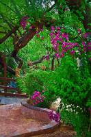Bougainvillea in the Courtyard by Kirt Tisdale